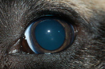 Dogs Eye Is Fully Dilated
